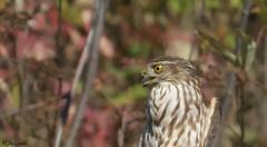 Sharp Skinned Hawk (jdcalvin096) Tags: nature minnesota hawk feathers hawkridge naturescreations egglayingavian