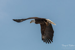 Bald Eagle launches, snaps off branch - Sequence - 10 of 13