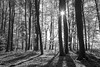 Twin trees - Autumn at Entenberg N°2 Mono version (Bernhard_Thum) Tags: bernhardthum thum leicam carlzeiss franken distagont1435 distagon3514zm autumn wood entenberg elitephotography capturenature landscapesdreams alemdagqualityonlyclub nationalgeographic daarklands