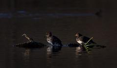 Spatterdock (J Gilbert) Tags: reflection bird duck newjersey pond hen nwr greatswamp hoodedmerganser lophodytescucullatus spatterdock harlecouronn