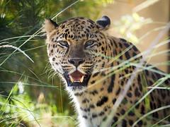 San Diego Zoo I (nazim1505) Tags: usa zoo san diego olympus leopard ii mm 75300mm 75300 zuiko muster tier omd em10 sugetier 4867 fleischfresser groskatze f4867