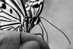 Butterfly on the hand (Nemodus photos) Tags: fz1000 butterfly papillon bw blackandwhite noiretblanc blackandwhiteonly