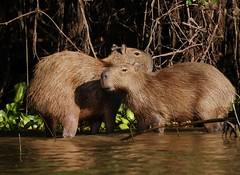 Capybara At The River's Edge (Susan Roehl) Tags: braziltrip2016 pixaimriver thepantanal brazil southamerica capybara hydrochoerushydrochaeris mammal animal riverbank largestrodentintheworld sueroehl naturalexposures photographictours panasonic lumixdmcgx8 100400mmlens handheld outdoors southwildpantanallodge takenfromboat agileswimmers ere ngc