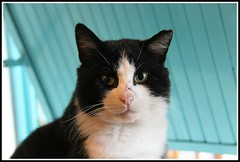 KIM  : Portrait (Les photos de LN) Tags: cat pet animaldomestique flin mammifre mle europen