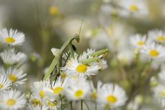 Dans les asters sauvages. (bertolinijacques) Tags: macro proxy insectes mantereligieuse femelle fleurs fleursastersasters sauvagesfrancecvennesardchest paul le jeune