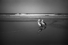 pelicans, Long Reef  #118 (lynnb's snaps) Tags: 2014 35mm d76 hp5 iso800 longreef xa bw beach birds film nature ocean pelican rangefinder noiretblanc blackandwhite pelicans ilford thisiswhyilovefilm upgradetofilm vintagecameraphotography analogphotography