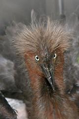 Reddish Egret -383 (frank.kocsis1) Tags: florida frankkocsis reddishegret sss chick seealbumformorephotos