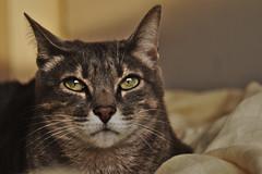 Sparta (joeovario) Tags: animales d90 gatos sparta