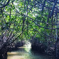 A ride to PICHAVARAM (Ebindev) Tags: pichavaram backwaters mangroveforest mangrove