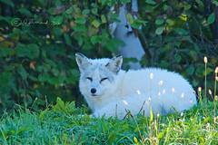 Arctic Fox @ Le Parc Omega (Jeannot7) Tags: arcticfox parcomega montebello québec