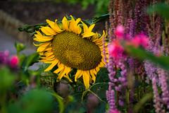 16-07-13 sonblum blmeer nah dsc05344 (u ki11 ulrich kracke) Tags: bltenmeer kontrast nah sonnenblume