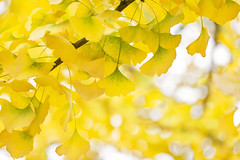 Looking at the Bright Side (Synapped) Tags: ginkgo leaf leaves yellow fall autumn horizontal bright