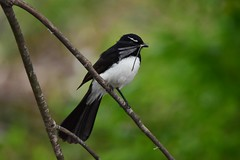 A feed for the children (Luke6876) Tags: williewagtail fantail bird animal wildlife australianwildlife