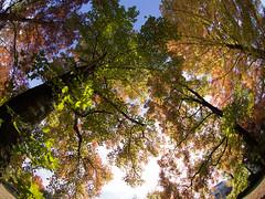 Taiwanese Maple (nak.viognier) Tags: taiwanesemaple senrikitapark osaka   olympusepl3 lumixgfisheye8mmf35