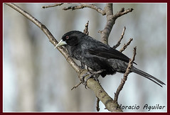 Boyero Negro - Solitary Black Cacique (Florin Paucke) Tags: boyero cacicussolitarius ave bird icteridae humedal bosque ornitologa naturaleza naturalista avifauna ecologa ecosistema biologa biodiversidad negro insectvoro