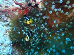 Boat diving - Kandy Faru (Valerie Hukalo) Tags: diving maldives asie asia ariatoll alifu océanindien indianocean hukalo underwaterphotography photographiesousmarine reef récif corail coral fauneaquatique plongée plongéesousmarine poisson fish