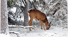 This reindeer is on the some place as the squirrel (HJsfoto) Tags: reindeer rådjur boden musictomyeyes potofgold