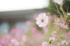 2016 Cosmos  (SYU*2) Tags: cosmos color nikon flower love colors cute flowers d800 nikoor pastel beautiful nature autumn photography dreamy dreamyandethereal japan  light
