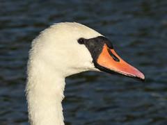 Mute Swan (Peanut1371) Tags: muteswan mute swan nationalgeographicwildlife