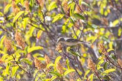 US_CA_Malibu_26353_2016-October-16_143719_HeidiPodjavorsek.jpg (Heidi M Podjavorsek) Tags: california usa northamerica nature bird losangeles season location malibu malibulagoon fauna
