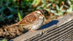 White-throated Sparrow (Bob Gunderson) Tags: birds california fortmason northerncalifornia sanfrancisco sparrows whitethroated zonotrichiaalbicollis