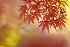 Autumn Colours (lfeng1014) Tags: autumncolours autumn autumnleaves autumnmaple maple mapletrees mapleleaves japanesemaple colours colourful macro macrophotography canon5dmarkiii 70200mmf28lisii closeup bokeh depthoffield dof lifeng