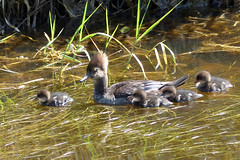 Hooded Merganser family (Delta Naturalists Casual Birding) Tags: 201519 dncb colony dncblocation dncboutingid
