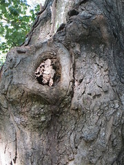 Knothole in tree trunk (Joel Abroad) Tags: trees guilfordcollege greensboro northcarolina knothole