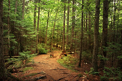 Laurentian Forest - La Mauricie National Park (Qubec, Canada) (Andrea Moscato) Tags: andreamoscato canada america nature natura natural naturale national np nationalpark paesaggio parco park trees tree wood bosco alberi sentiero boardwalk walk shadow light green brown vivid under leaves montagna mountain forest trail