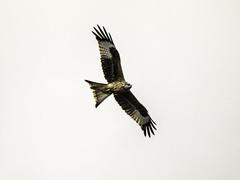Milvus Milvus (Lumase) Tags: milvusmilvus nibbioreale flight flying wildanimal redkite