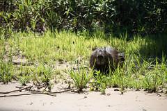 DSC_1294.jpg (riandar) Tags: brazil pantanal capybara wildlife mammals safari nature jaguarflotel