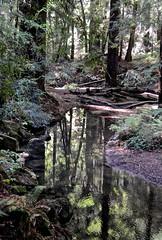Ano Nuevo,  Butano State Park, Goat Hill trails, Little Butano Creek, redwoods (David McSpadden) Tags: anonuevo butanostatepark goathilltrails littlebutanocreek redwoods reflections