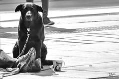 Fidelitat (Pau Pumarola) Tags: fidelitat fidelidad fidelity fidélité treue gos perro chien dog hund compassió compasión mitgefühl compassion sympathy vagabund vagabundo tramp vagabond landstreicher penner fotografiadecarrer fotografiacallejera photographiederue streetphotography strasenfotografie natural candid blancinegre blancoynegro noiretblanc blackandwhite schwarzundweis retrat retrato portrait porträt