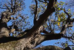 bur_oak_8960 (McConnell Springs) Tags: mcconnellspringspark lexingtonky lexingtonparksrecreation tree bark buroak fall