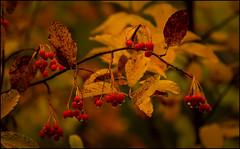AUTUMN FRUIT (MOSTAJO) (TOYOGRACOR) Tags: aplusphoto macro flor color flickrdiamond bej canon explore flickr fiore dof mygearandme mygearandmepremium mygearandmebronze mygearandmesilver godlovesyou desenfoque flickrflorescloseupmacros otoo rojo sivestre frutos rojos fanlo aragn silvestre mywinners autumn fruit amarillo frutosrojos mostajo