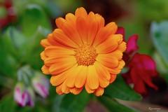 Souci Calendula officinalis (kiareimages1) Tags: flowers fleurs fiori flores colors colori couleurs colores macro macrophotographie macroflowers macrophoto yellow orange