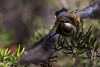 IMG_0470FLKR (mareeH1) Tags: australianimages birds easternspinebill honeyeater