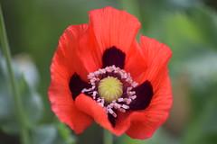 La Cumbrecita (lucianoescalante) Tags: la cumbrecita amapola flor cordoba argentina sierras montaas nikon 70300 d3300