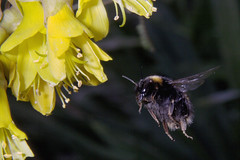 Bumble Bee (Bombus sp.) and Kowhai (Sophora microphylla) (Nga Manu Images NZ) Tags: bombussp bumblebee fscientificnames flowering insects kowhai plantsandfungi pollination sophoramicrophylla trees