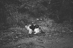 Stray (jbrighamphotography) Tags: nikonf photomic ftn nikon nikkor kodak trix blackandwhite filmphotography streetphotography cat stray 400tx