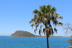 Cabbage Tree Palm (Livistona australis) (Poytr) Tags: kuringgaichasenationalpark westheadnsw sydneyaustralia brokenbay cabbagetreepalm palm livistonaaustralis outdoor sea arfp nswrfp vrfp qrfp arecaceae westheadbattery tombolo banksia proteaceae pittwater