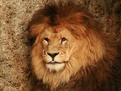 Lion (Standardwing) Tags: artiszoo lion pantheraleo felidae
