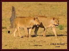 KING OF THE JUNGLE (Panthera leo)....MASAI MARA......SEPT,2016 (M Z Malik) Tags: nikon d3x 200400mm14afs kenya africa safari wildlife masaimara keekoroklodge exoticafricanwildlife exoticafricancats flickrbigcats lions leo ngc