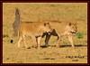 KING OF THE JUNGLE (Panthera leo)....MASAI MARA......SEPT,2016 (M Z Malik) Tags: nikon d3x 200400mm14afs kenya africa safari wildlife masaimara keekoroklodge exoticafricanwildlife exoticafricancats flickrbigcats lions leo ngc npc