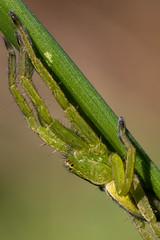 Micrommate de Ligurie (CCphoto12) Tags: arachnide araignée aranéide micrommatedeligurie nature rouhenac