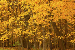 Autumn Scenes River Trail Nature Center Northbrook Illinois 10-30-2016  610 (www.cemillerphotography.com) Tags: fall season coolweather fallingleaves red brown yellow gold pumpkins october november halloween vividcolor cookcountyforestpreservedistrict animals worker lecturer display hiking trails biking forest coyote