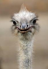 ostrich artis JN6A1378 (j.a.kok) Tags: vogel bird struisvogel ostrich artis afrika africa