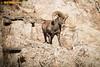 RDP_8536 (REALDEALPHOTOGRAPHY) Tags: bighornsheep rockymountainbighorn rut colorado drake thompsoncanyon bobbydeal coloradophotographer wildlifephotographer wildlife