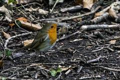 Robin (grahamh1651) Tags: helstonboatinglake birds gulls ducks geese waterbirds swans