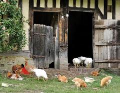 Profitons, le coq n'est pas l... (Bernard P.) Tags: france normandie poules couleurs campagne nikon